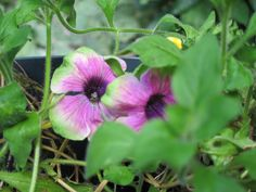 Pistachio petunias, I bought last spring and still enjoying the blooms.