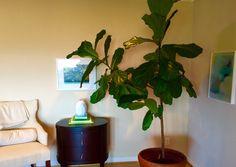 Fiddle Leaf Fig Tree, Interior Plants, Greenery, Plant Leaves, Indoor Plants, Indoor House Plants, Home Plants