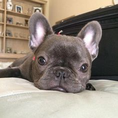 The major breeds of bulldogs are English bulldog, American bulldog, and French bulldog. The bulldog has a broad shoulder which matches with the head. Blue French Bulldog Puppies, French Bulldog Facts, Cute French Bulldog, French Bulldogs, Bulldog Breeds, Bullen, Puppy Care, Cute Baby Animals, Funny Animals