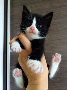 40 Attractive Black And White Cat Pictures Little Kittens, Cute Cats And Kittens, Baby Cats, Cool Cats, Kittens Cutest, Kittens Playing, Black And White Kittens, White Cats, Black White
