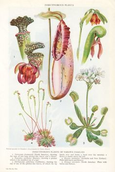 Venus FLY TRAP, Botanical print of Insectivorous Plants, Insect eating plants