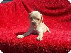 LOVE HER...richmond, VA - Chihuahua/Deerhound Mix. Meet CHIWEENIE C a Puppy for Adoption.
