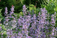 Buy catmint Nepeta × faassenii: Delivery by Crocus