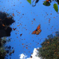 It's Monarch Season here in Monterey! Stop by the Monarch Butterfly Sanctuary in Pacific Grove and witness this beautiful migration first-hand! #SanctuaryBeachResort #MonarchSanctuary #MontereyBay