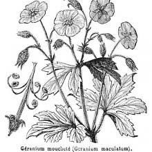 Illustration showing geranium maculatum (Spotted cranesbill), a woodland perennial plant native to eastern North America, from southern Manitoba and southwestern Quebec south to Alabama and west to Oklahoma and South Dakota Cranesbill Geranium, Wild Geranium, Engraving Illustration, Illustration Art, Book Illustrations, Botanical Art, Botanical Illustration, Geraniums Garden, Plant Sketches