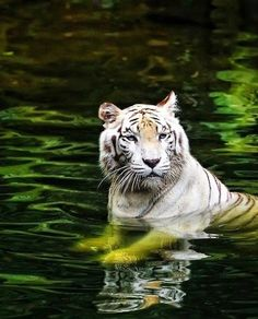 my Favorite exotic animal Did you know that the only cat that enjoys water is the tiger? Vida Animal, Mundo Animal, Beautiful Cats, Animals Beautiful, Big Cats, Cats And Kittens, Tiger In Water, Animals And Pets, Cute Animals