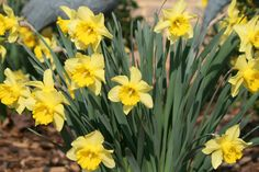 A SURE SIGN OF SPRING...DAFFS!