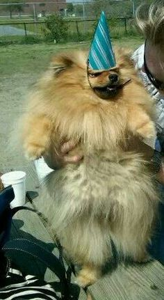 Fabio my Pomeranians birthday at the dog park. His birthday hat was a little too tight :D