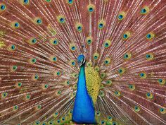 Yes!! it was a peacock!!!