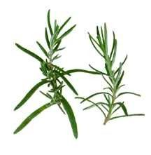 Golden rain rosemary is a tender perennial in zones 8 10 acts as an