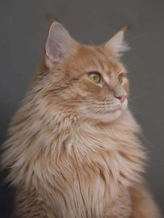 Pretty Cats, Beautiful Cats, Animals Beautiful, Cute Animals, Gatos Maine Coon, Maine Coon Cats, Orange Maine Coon, Long Haired Cats, Orange Tabby Cats