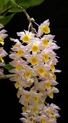 Dendrobium mousmee