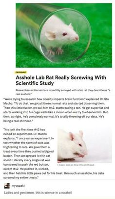 Have we ever stopped to wonder whether this rat was a human who got transformed into a rat because the gods were angry and wanted him to understand how it felt but then, since he knew he was a lab rat, he decided to have fun with it (don't support animal testing)