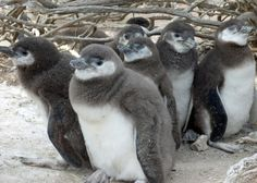 ENVIRONMENT  For Already Vulnerable Penguins, Study Finds Climate Change Is Another Danger By HENRY FOUNTAINJAN. 29, 2014