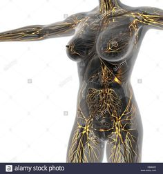 Human limphatic system with bones in transparent body Stock Photo: 127338805 - Alamy Human Body Anatomy, Muscle Anatomy, Cupping Therapy, Massage Therapy, Massage Tips, Lymph Nodes, Lymphatic System, Body Systems, Physiology