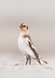 Snow Bunting (Plectrophenax nivalis) by Kristian Bell on Flickr.