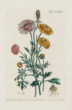 Ranunculus foliis ternatis biternatisque from 1768 Philip Miller Most Beautiful Plants in Gardens Dictionary
