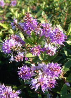 Hebe x franciscana 'Blue Gem' Familia:Scrophulariaceae Origen:H. elliptica x H. speciosa Compacta Perenne Época/Floración:V/VI-IX/II Color floración:Hebe x franciscana 'Blue Gem' Altura (cm): 60/80 Anchura (cm): 80/100 Temperatura: -10ºC Zona 8 Prefiere sol pero tolera media sombra Soporta la sequedad pero prefiere el riego ocasional Resistencia ante la salinidad y la brisa marina