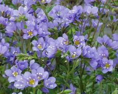 """Polemonium (Jacob's Ladder): Generally erect, clump-forming perennial that typically forms a foliage mound to 18-24"""" tall and as wide. Odd-pinnate compound bright green leaves (to 27 leaflets each) appear ladder-like, hence the common name. Cup-shaped, deep blue flowers with contrasting yellow stamens appear in loose, drooping, terminal clusters (cymes) in spring. Specific epithet means sky blue in reference to the flower color. Colorful Flowers, Blue Flowers, Deer Resistant Perennials, Gardening Zones, Jacob's Ladder, Cottage Garden Plants, Neem Oil, Plants Online, Plant Sale"""
