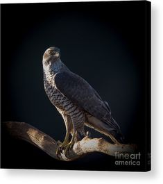 Hawk-eye  The northern goshawk watching from a branch in Uppland, Sweden By Torbjorn Swenelius Photography