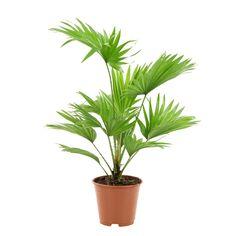 Livistona rotundifolia:pot D14 cm