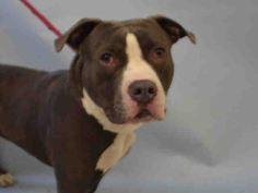 HENRY - A1103994 - - Manhattan  TO BE DESTROYED 02/22/17 **NEEDS A NEW HOPE RESCUE TO PULL** -  Click for info & Current Status: http://nycdogs.urgentpodr.org/henry-a1103994/