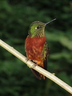 The Chestnut-breasted Coronet (Boissonneaua matthewsii) is a species of hummingbird in the Trochilidae family. It is found in humid montane Andean forests in Colombia, Ecuador, and Peru. It is generally easily recognized by its contrasting rufous underparts.