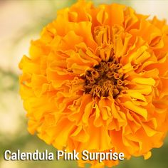 Calendula officinalis ?Pink Surprise? / English Marigold ** Approx 150 PlantGenesis seeds** Hardy annual A mix of orange and yellow English Marigolds, with flowers all summer from May/June to September. Plants grow to a height of 40-60cm and are ideal for sunny gardens and pots. These make good cut flowers and the flowers and leaves are edible. English Marigolds grow best in full sun and well-drained soil. Sowing: Sow in spring or autumn. Sow in a tray or small pots of seed compost, keep at…