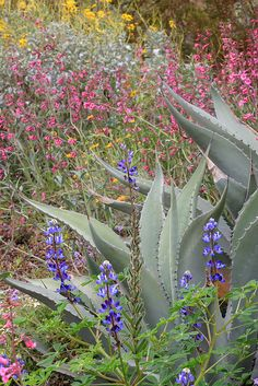 Agave, lupine, penstemon wildflowers by desertbotanicalgarden, via Flickr