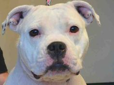 Brooklyn Center  HENNSSEY aka HENNSEY- A1030153   FEMALE, WHITE, AMER BULLDOG, 1 yr, 7 mos OWNER SUR - ONHOLDHERE, HOLD FOR ID Reason MOVE2PRIVA  Intake condition EXAM REQ Intake Date 03/12/2015 https://www.facebook.com/Urgentdeathrowdogs/photos/pb.152876678058553.-2207520000.1426373553./976176472395232/?type=3&theater