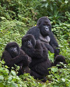 Gorilla family.   (by safari-partners, via Flickr)