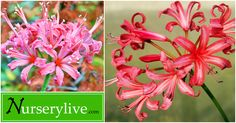 ' True friend ' of gardners : Narine lily will bloom for you till summer ends! - Plant Talk - NurseryLive Wikipedia