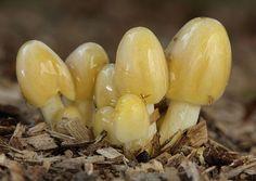 Nahuby.sk - Fotografia - hnojovec žltý Bolbitius titubans (Bull.) Fr.