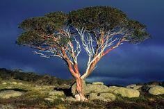 Snow Gums on the Bogong High Plains Victoria Australia Tasmania, Land Of Oz, Victoria Australia, Belleza Natural, Beautiful World, Beautiful Things, Nature Pictures, Tree Of Life, Flora