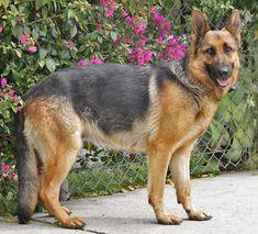 Sheba von Scheer is a stunning 18 month old black and red German Shepherd.  Westside German Shepherd Rescue of Los Angeles