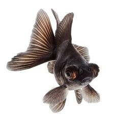 Photographic Print: Brown Goldfish Isolated on White Background without Shadow by Vangert : Black Goldfish, Goldfish Tattoo, Baby Animals, Cute Animals, Monster Coloring Pages, Carpe Koi, Mushroom Art, Happy Paintings, Beautiful Fish