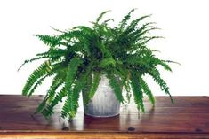 How Do Ferns Purify Air: Growing Ferns For Air Purification In The Home