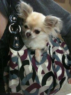 Chloe! The 2lb Blind Chihuahua!