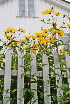 """""""Brown-Eyed Susans"""" spilling over a white picket fence ~ VIBEKE DESIGN"""