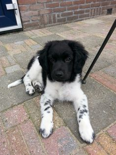 Mijn eigen Friese Stabij pup Beau. 12 weken oud.