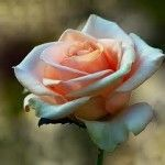 Marilyn Monroe Hybrid Tea Rose