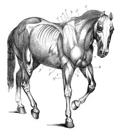 Laser Etched Horse Anatomy on Colored Mat Board by lorddudleys, $9.99