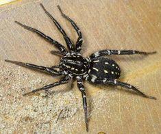 Nyssus Albopunctatus or White Spotted Swift Spider