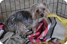 Hedgesville, WV - Yorkie, Yorkshire Terrier. Meet Harley Boy, a dog for adoption. http://www.adoptapet.com/pet/18088740-hedgesville-west-virginia-yorkie-yorkshire-terrier