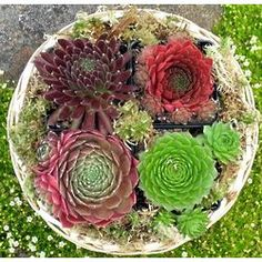 Succulent Gift Basket - The Succulent Plant Gift Basket is a willow basket filled with colorful hardy succulent plants. The Succulent Gift Basket has four assorted sempervivums (hens and chicks). Succulents are sun-loving plants that are easy to care for. Succulent Arrangements, Cacti And Succulents, Planting Succulents, Cactus Plants, Succulent Gifts, Succulent Gardening, Sun Loving Plants, Hens And Chicks, Cactus Y Suculentas