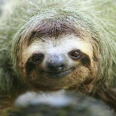 40 Super Cute GIFs of Sloths Doing Things