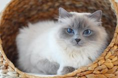 My birthday girl Mazzy has celebrate her day with her favorite candy #orijentreats  #minivaniljer #minivaniljerna2013 #mazarin #birma #birman #breeder #catsofinstagram #chokladochvanilj #pinkalicious #topcatphoto #happycatclub #welovecats #we_love_cats #excellent_cats #bestcats_oftheworld #birman_cats_lovers #birman_feature #birmavanner #birmancat #birmancats #bestmeow #birthdaycat