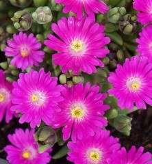 Delosperma Jewel of Desert Opal Ornamental Grasses, Perennials, Opal, Deserts, Jewels, Gardening, Landscape, Self, Scenery