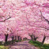 Cherry Blossom Walk photo 7658cherrypink-1.jpg