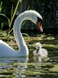 Swan and Signet - Mother and baby swan Beautiful Swan, Most Beautiful Birds, Pretty Birds, Animals And Pets, Baby Animals, Cute Animals, Animals Photos, Nature Animals, Wild Animals